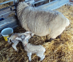 first-lambs-2016-with-mum